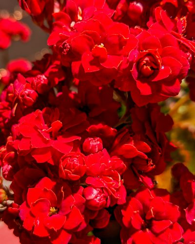 rebecca gomez farrell, the gourmez, red flowers, calanchoe, flowers of oakland, #flowersofoakland
