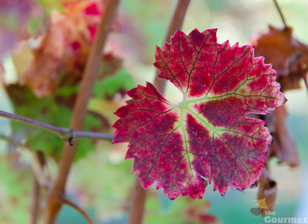 wine road, sonoma county, healdsburg, acorn winery, fall, grape leaf, grape leaves