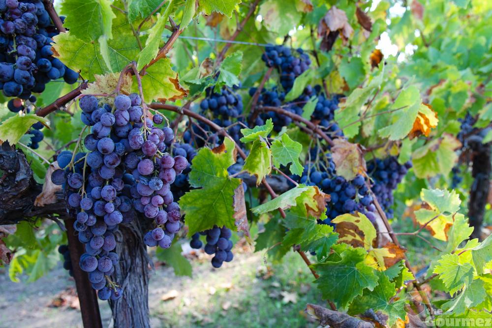 acorn, acorn winery, alegria vineyard, grape vines, grapes